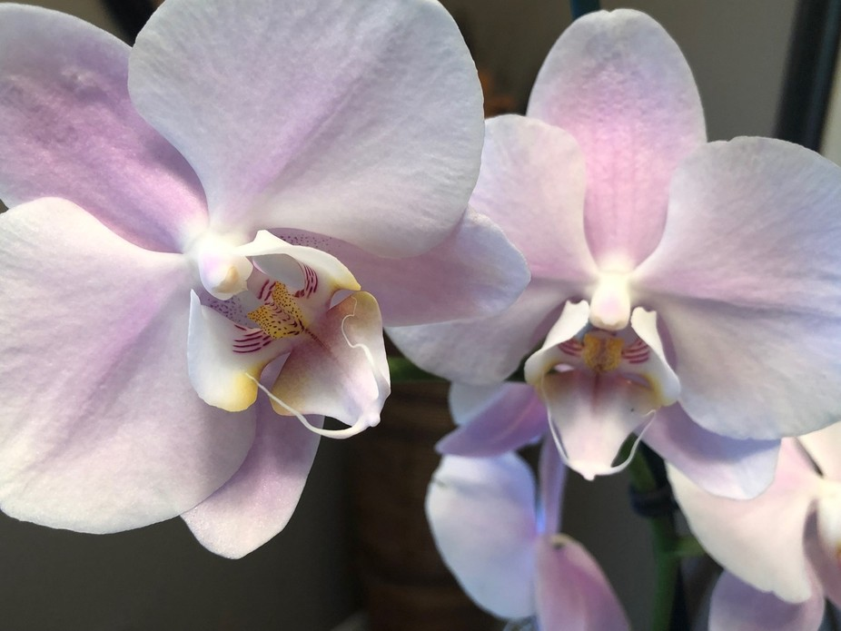 What is more beautiful than an orchid?