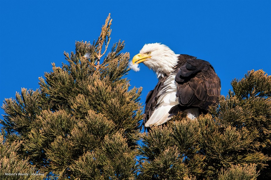 A beautiful eagle twists her neck and preens her backside feathers as she sits in a tall pine tre...