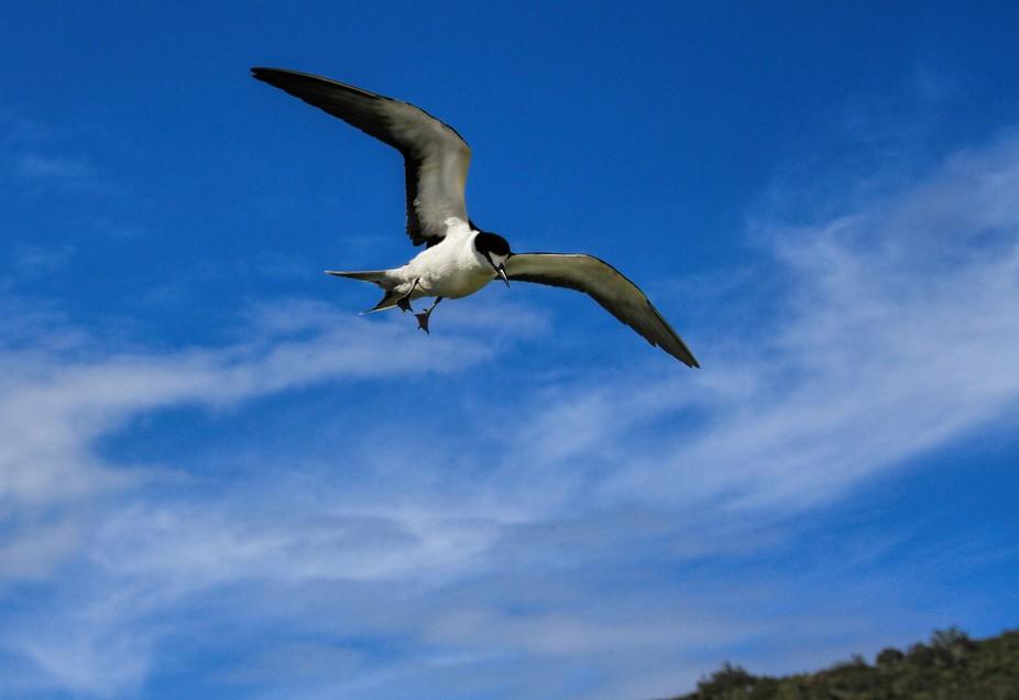 Sooty Tern, Lord Howe Island
