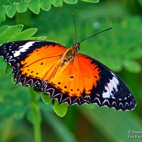 Orange lacewing butterfly with spread wings resting on a fern.