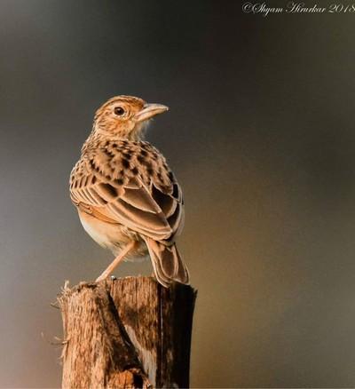 Paddyfield Pipit #birdsofindia #birds #bestbirdshots #eye_spy_birds #indianwildlifeofficial #wildlifephotography #wildlife #nikonindiaofficial #nikon #natgeoyourshot #natgeo #planetbirds #pocket_birds #eow #edgeofwild