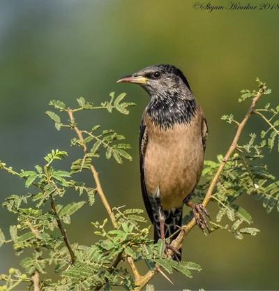 Rosy Starling #birdsofindia #birds #bestbirdshots #eye_spy_birds #indianwildlifeofficial #wildlifephotography #wildlife #nikonindiaofficial #nikon #natgeoyourshot #natgeo #planetbirds #pocket_birds #eow #edgeofwild