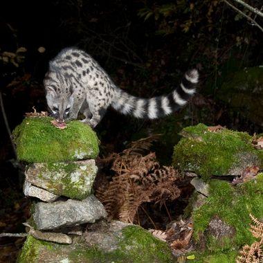 Gineta (Genetta genetta) ,bello, nocturno, agil, valiente, respetuoso (No toca el equipo fotografico).Me encanta fotografiar este animal.
