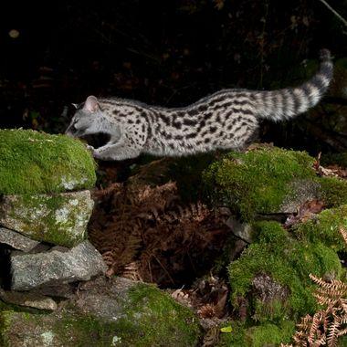 Gineta (Genetta genetta) . Este bello animal tiene una elasticidad corporal, como la de un leopardo.