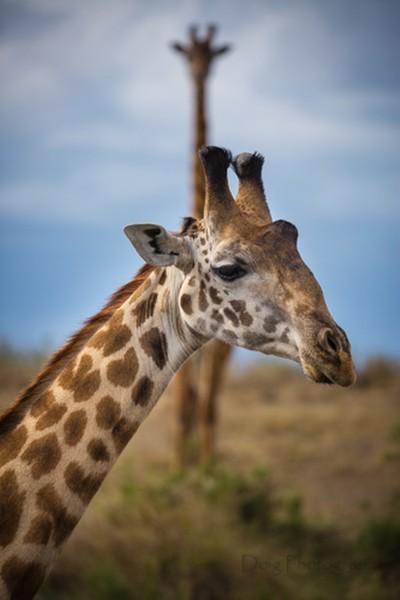 Masa Mara Giraffe