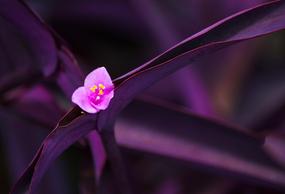 Tiny bold pink flower with unique purple leaves.
