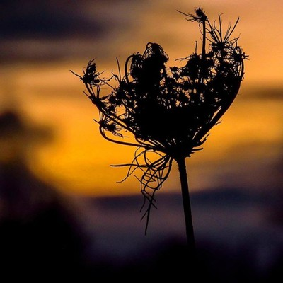 Queen Anne's lace at sunset.  #trailsend #queenanneslace #sunset #lastlight #wildflowers #wildflowerphotography #outthebackdoor #backyardnature #canon_photos #canonglobal #got_greatshots #ig_eternity #pocket_flowers #raw_flowers #sunset_vision #ethereal_m