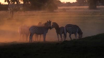 Sunset Zebras