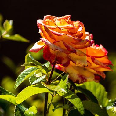 rose - 9778