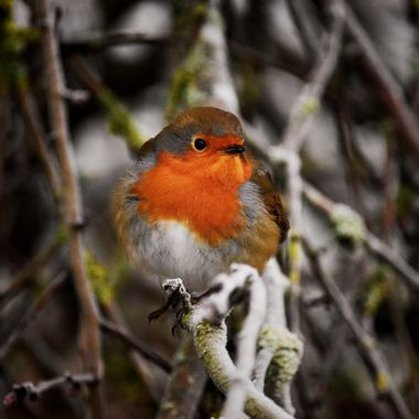 Robin on a frosty Day