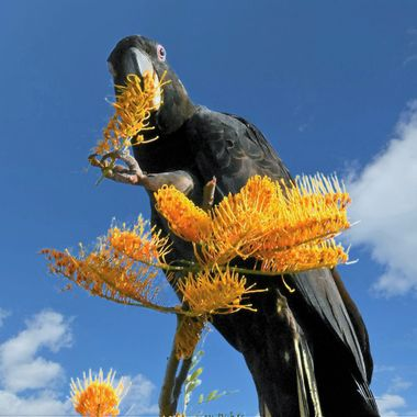 Yellow Tailed Black Cockatoo (2)