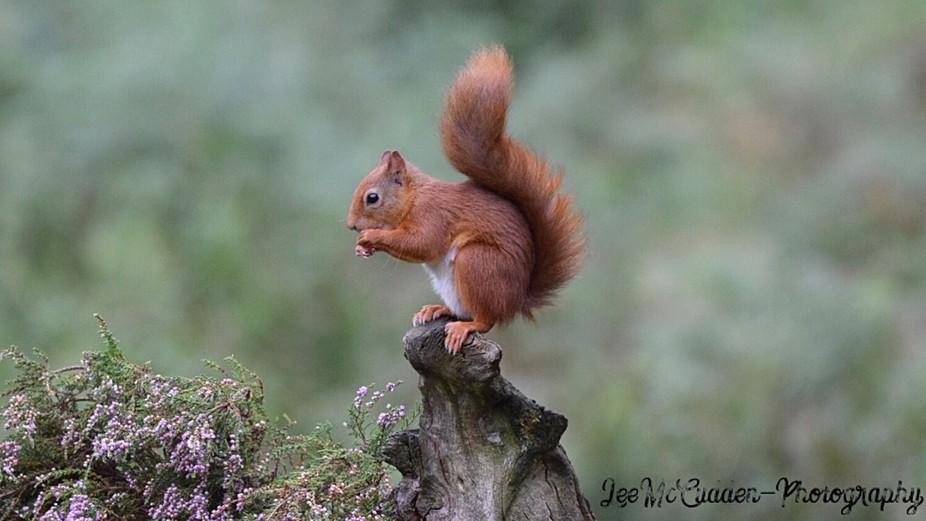 Red squirrel enjoy lunch!
