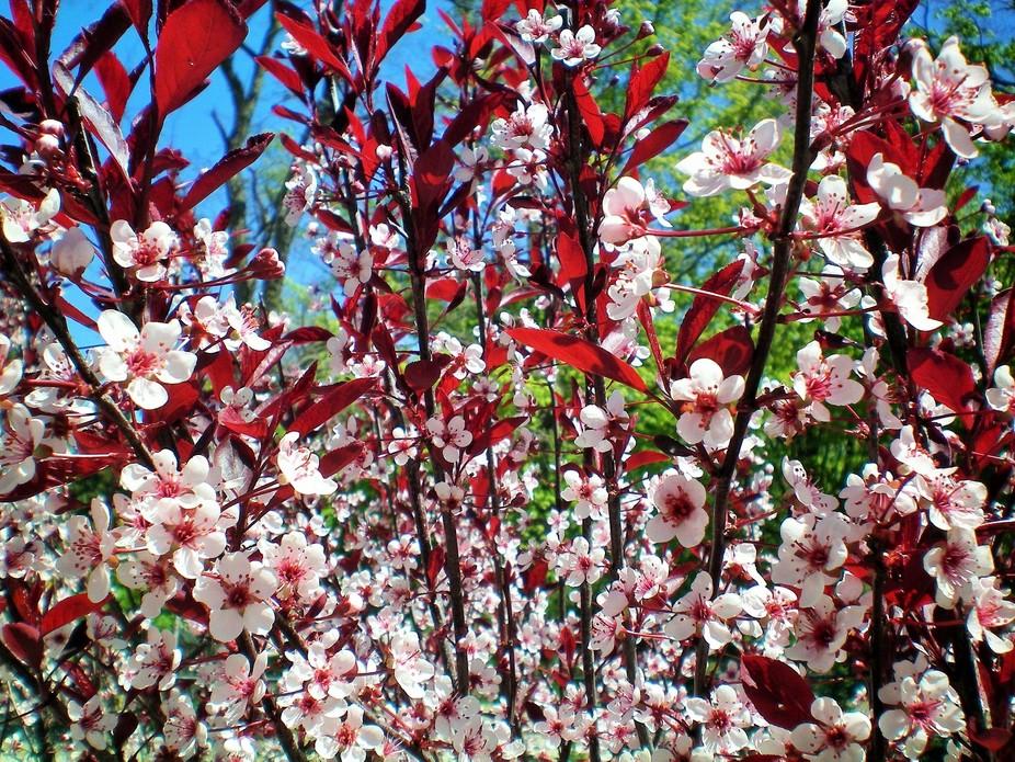 Sand cherry tree :)