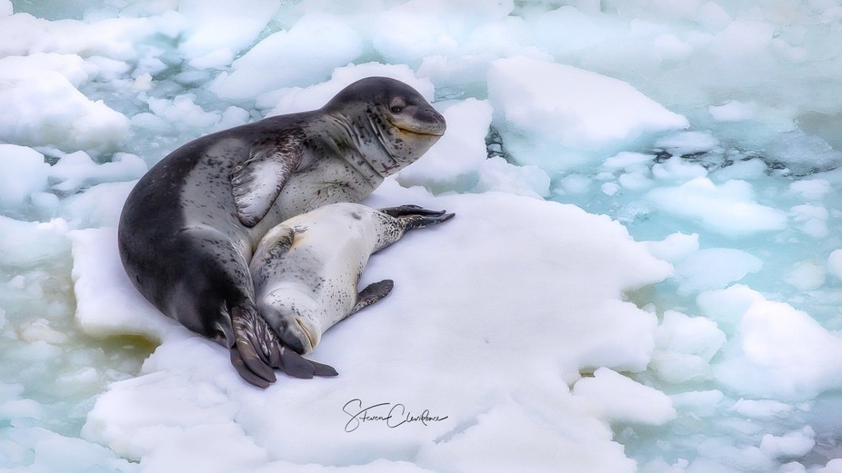 Leopard Seal and pup off the coast of Antarctica