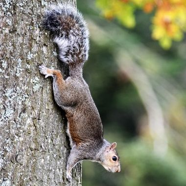 Spied this cute squirrel descending down the tree on visit to park .