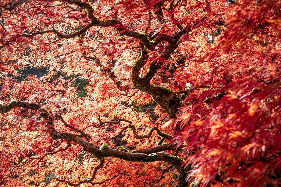 Japanese Mable Tree with Red Autumn Foliage