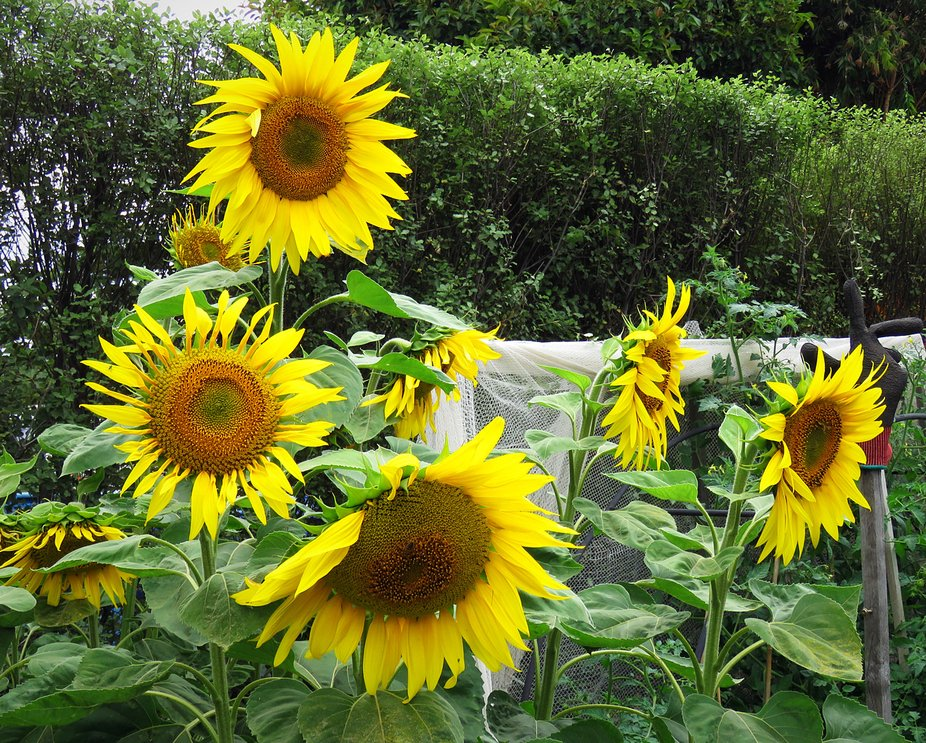 Belinda's beautiful Sunflowers