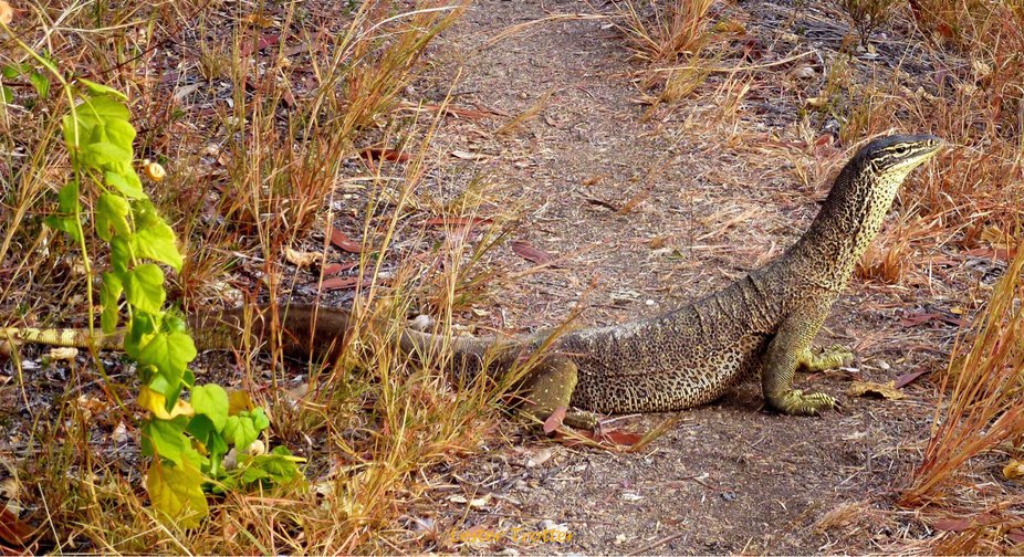 Goanna, Lace Monitor,The Chimney's,Georgetown,Queensland,Australia