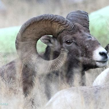 A beautiful rocky mtn bighorn sheep at Spences Bridge B C