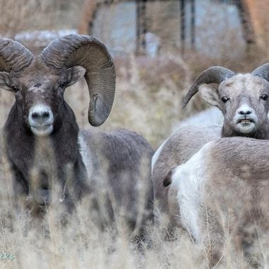Bighorn sheep at Spences Bridge B C