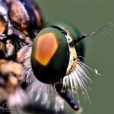 Eye Of A Robberfly