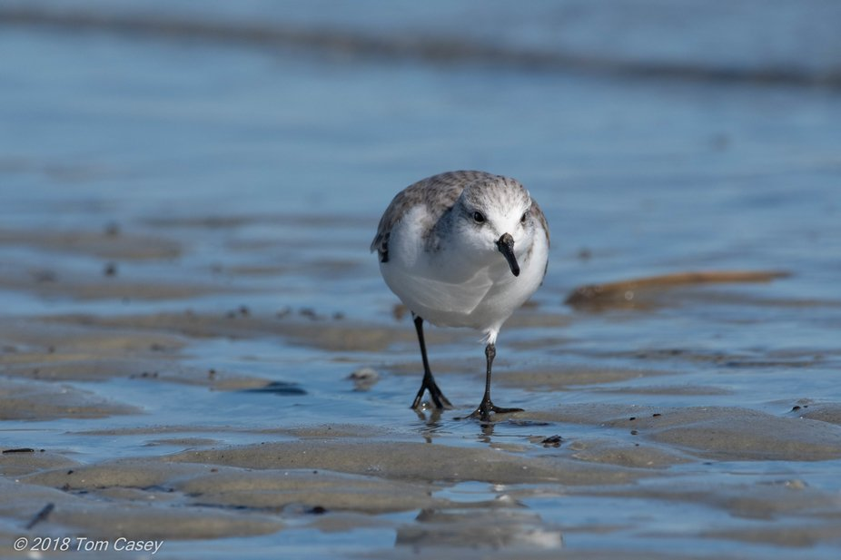 These quick moving little sandpipers can be seen scurrying to and from the surf year 'ro...