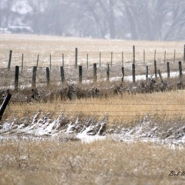 Deer laying along a fence line.