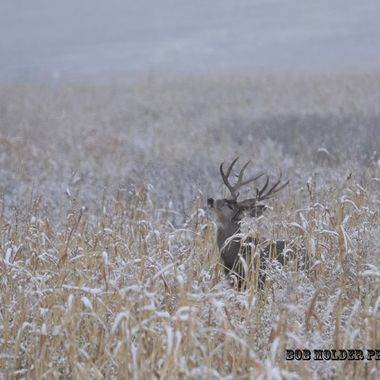 Mule Deer buck sniffing the air.