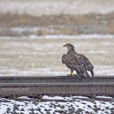 Young Bald Eagle sitting on railroad tracks.