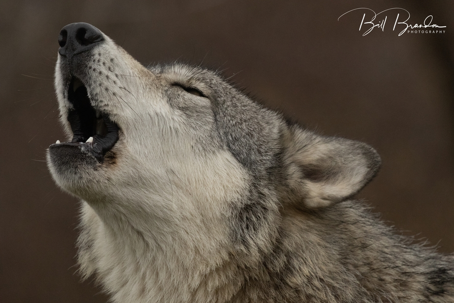 Image Taken at Wolf Park
