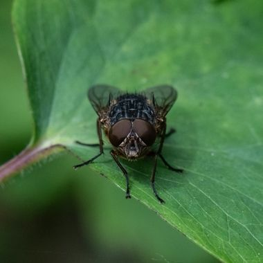 Brown Blowfly