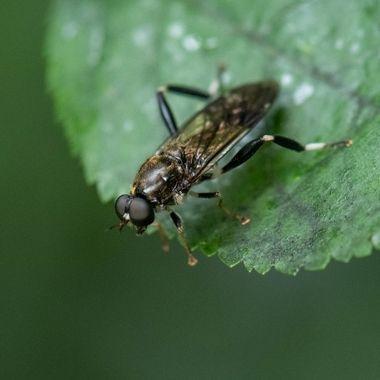 Garden Solider Fly