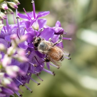 Honey Bee on Hebe Blossum