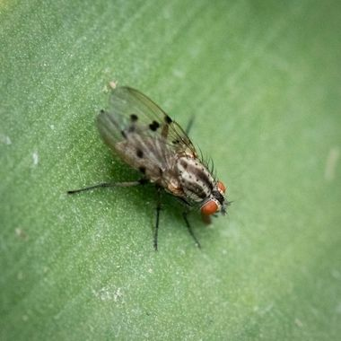 European Flesh Fly