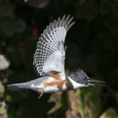 Belted Kingfisher (female) - 0482