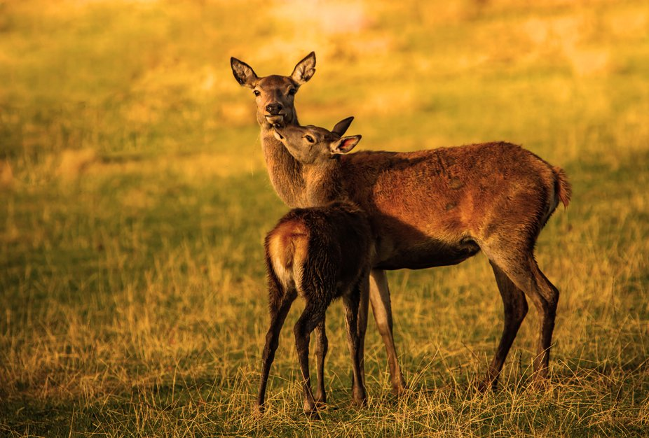 What a beautiful moment between a mama and her young one. The sun was going down and the golden g...