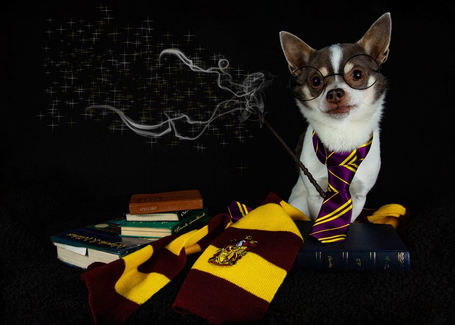 My Chihuahua Valentino is a Harry Potter fan. Had fun with this image.