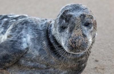 Seal pup on breezy Beach