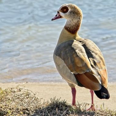 A visiting Egyptian goose on Lake Travis, Texas