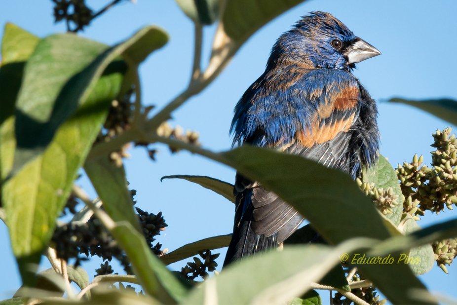Taking the sun after a great morning shower.  Picogordo Azul - Passerina caerulea Jardín Botáni...