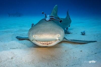 Lemon Shark Smiling