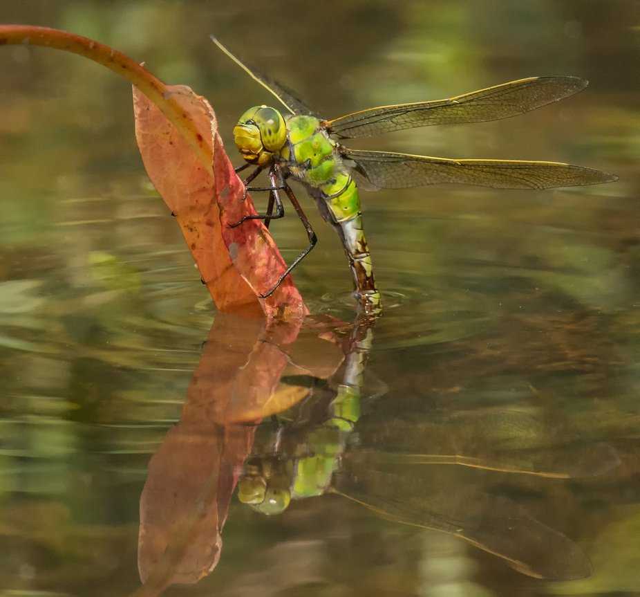 A female Emperor laying eggs in a pool perched on a red leaf with visible reflection on a hot sum...