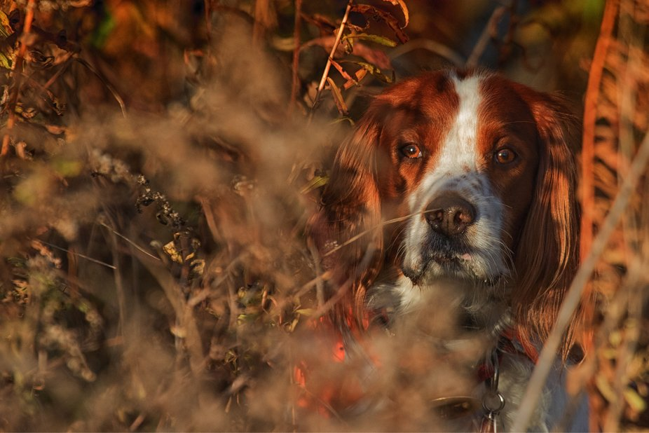 How Irish Red & White Setters hide