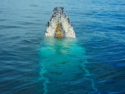 Humpback whale spy-hopping