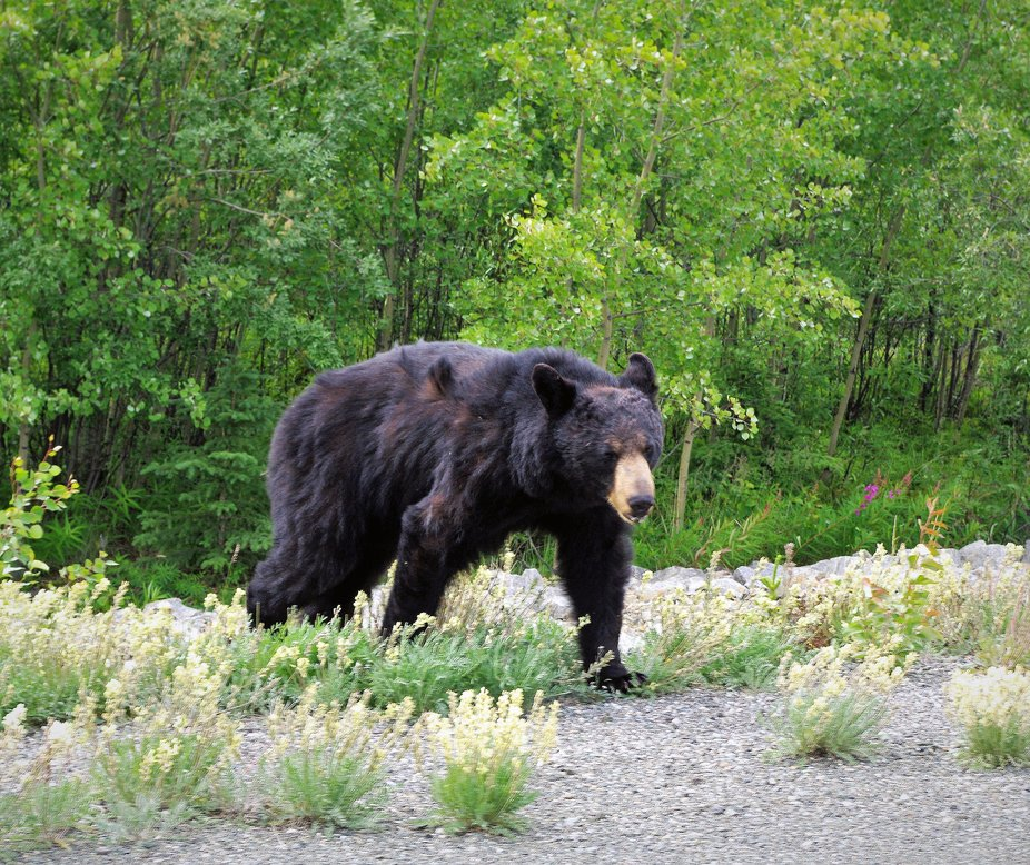 Big Black Bear come running up to us when we were sitting and eat in the forest. Have to run and ...