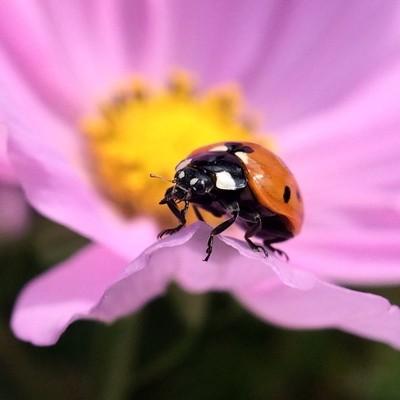 Ladybug on Cosmo flower
