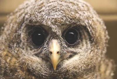 baby wood owl
