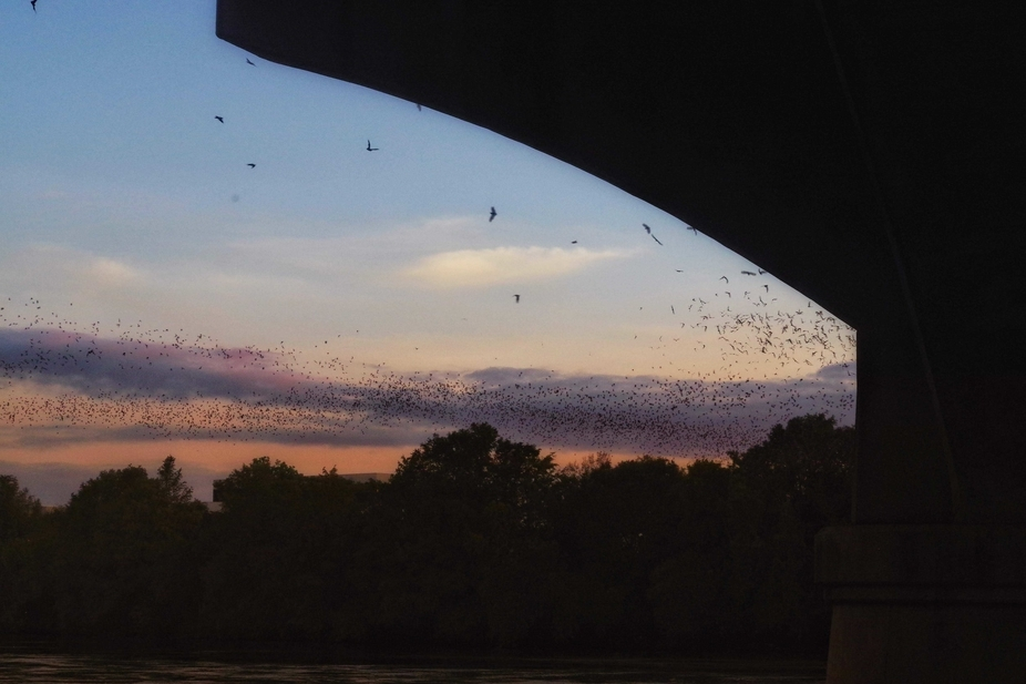 From under the S. Congress bridge, Austin TX. Nightly flight of millions of bats