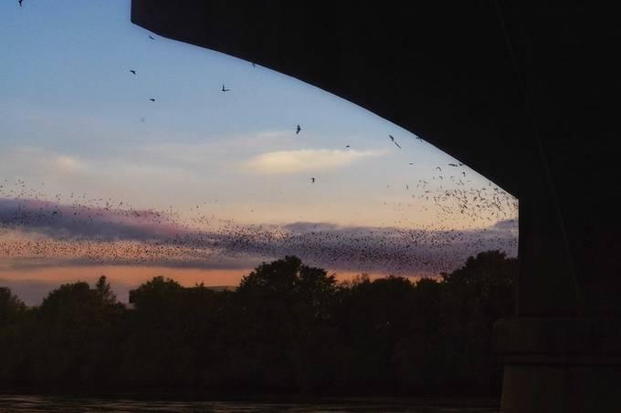From under the S. Congress bridge, Austin TX. Nightly flight of millions of bats
