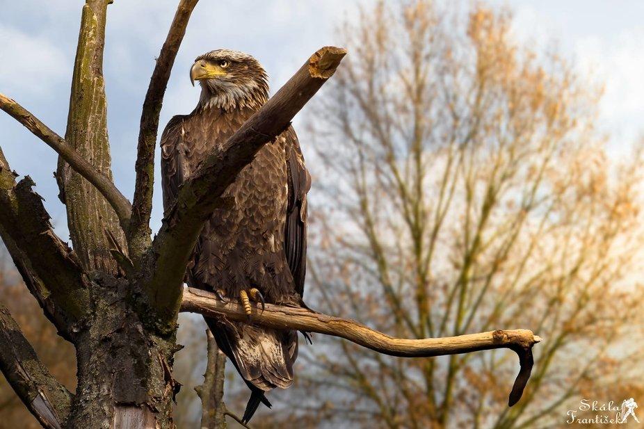 Kamchatka eagle